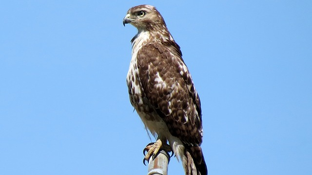 red-shouldered-hawk-1243387_640